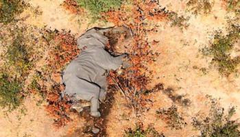 Mueren sin explicación más de 300 elefantes en Botsuana